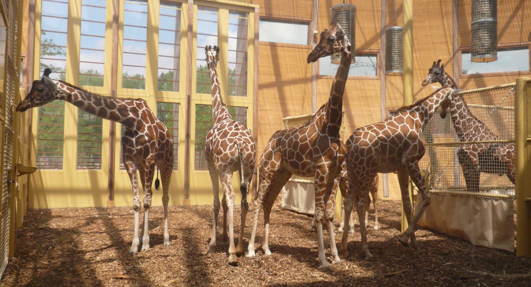 Giraffes inside Savannah House by LAM architects